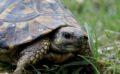 Ecco Clementina la tartaruga abruzzese che ama i Pink Floid e mangia ogni giorno spaghetti e pollo